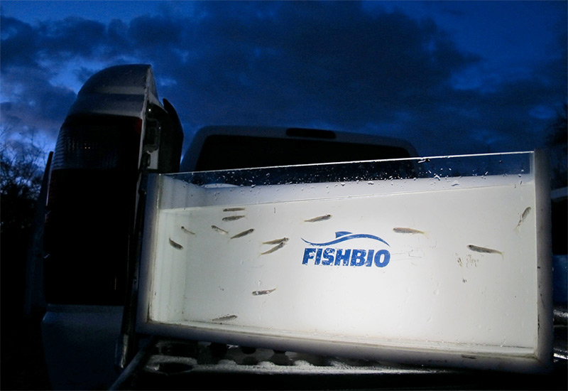 Chinook fry in the spotlight