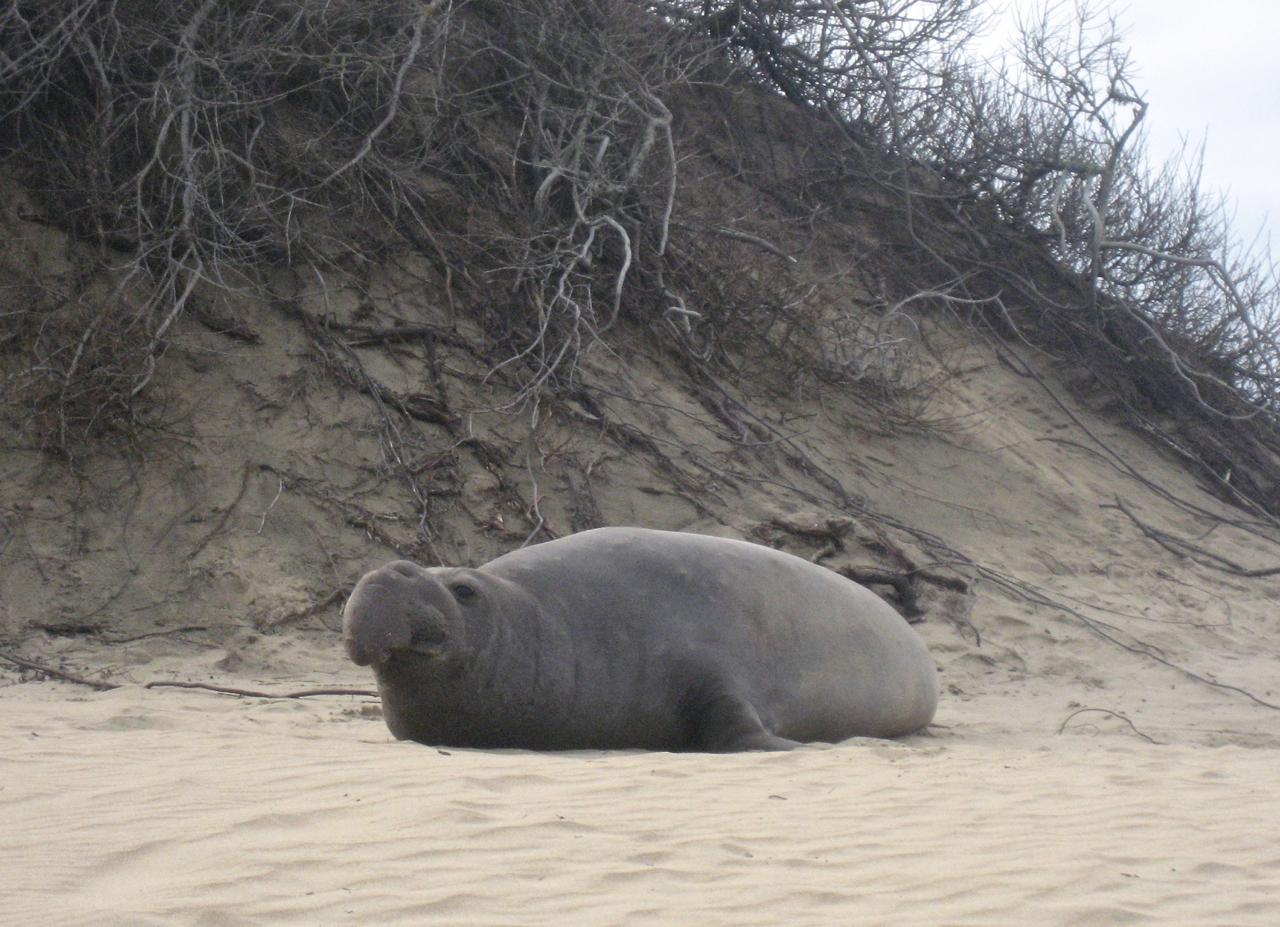 Elephant seal at Año Nuevo