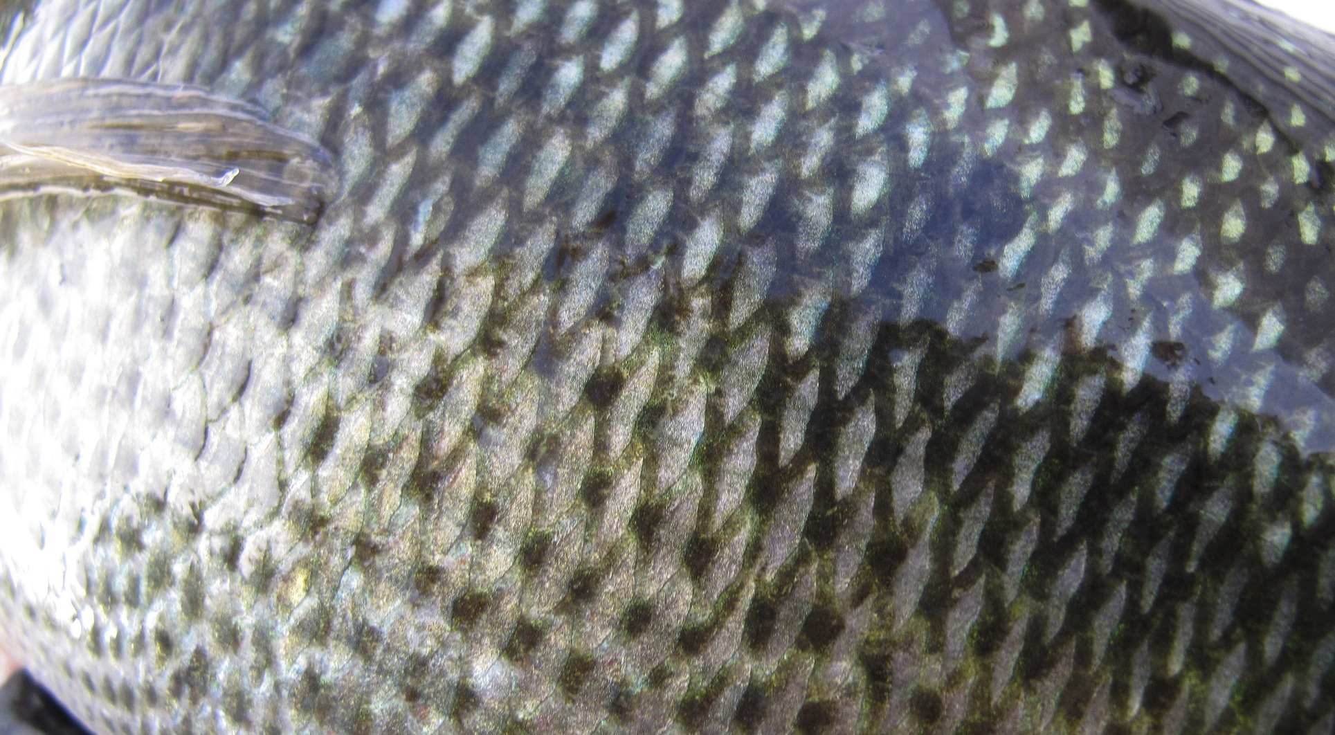 Written in the scales for List of fish with fins and scales