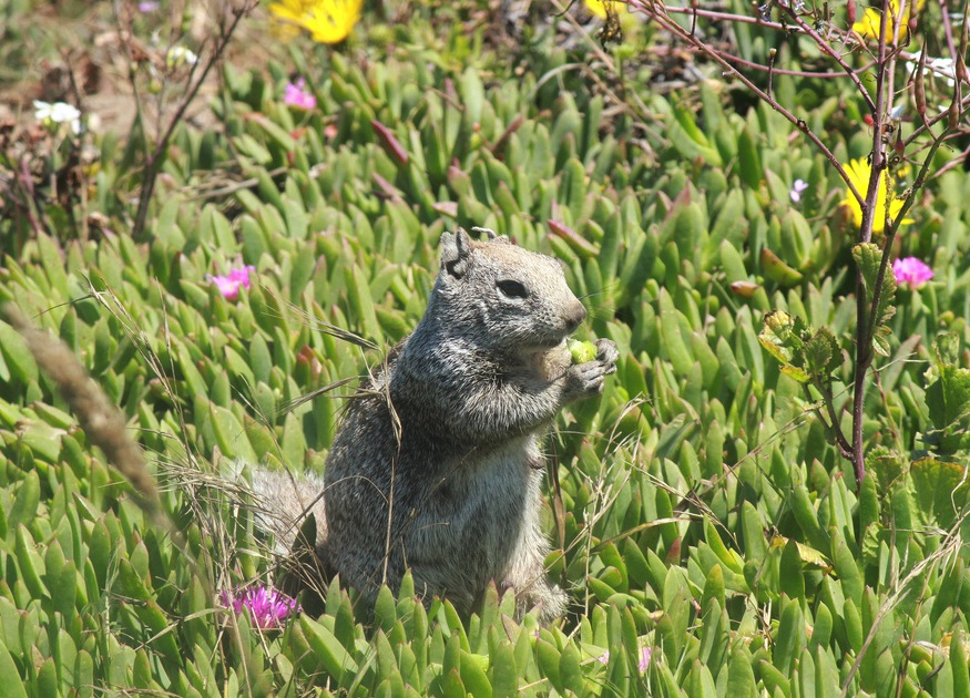 A California ground squirrel munches on iceplant