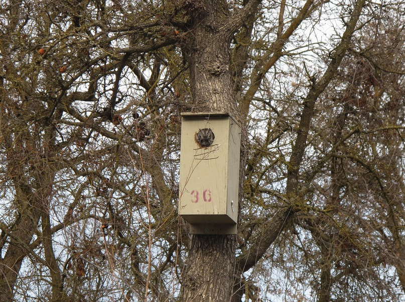 Great Horned Owl in a nest box