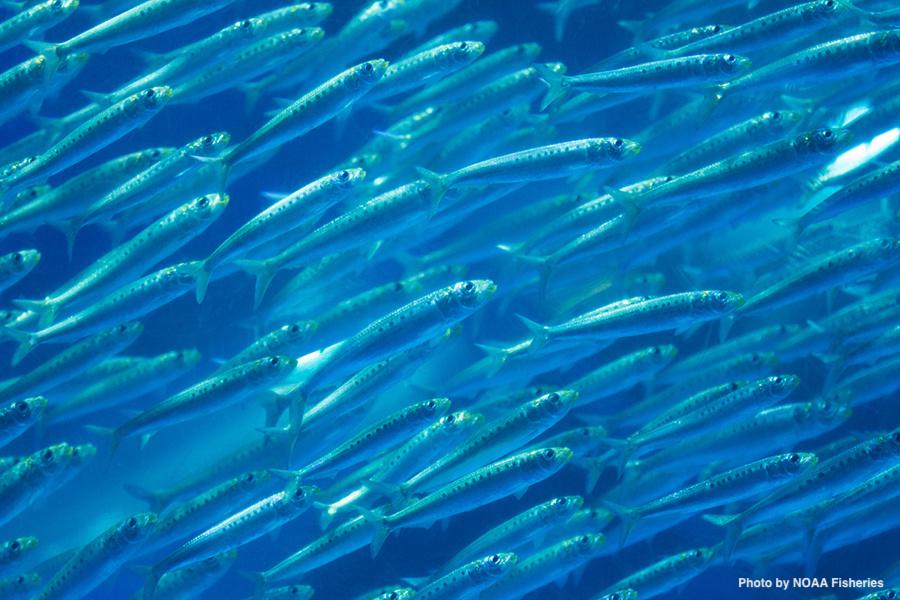 sardines NOAA