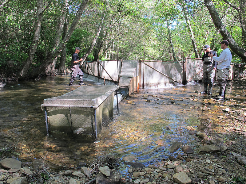 Smolt trap on Scott Creek