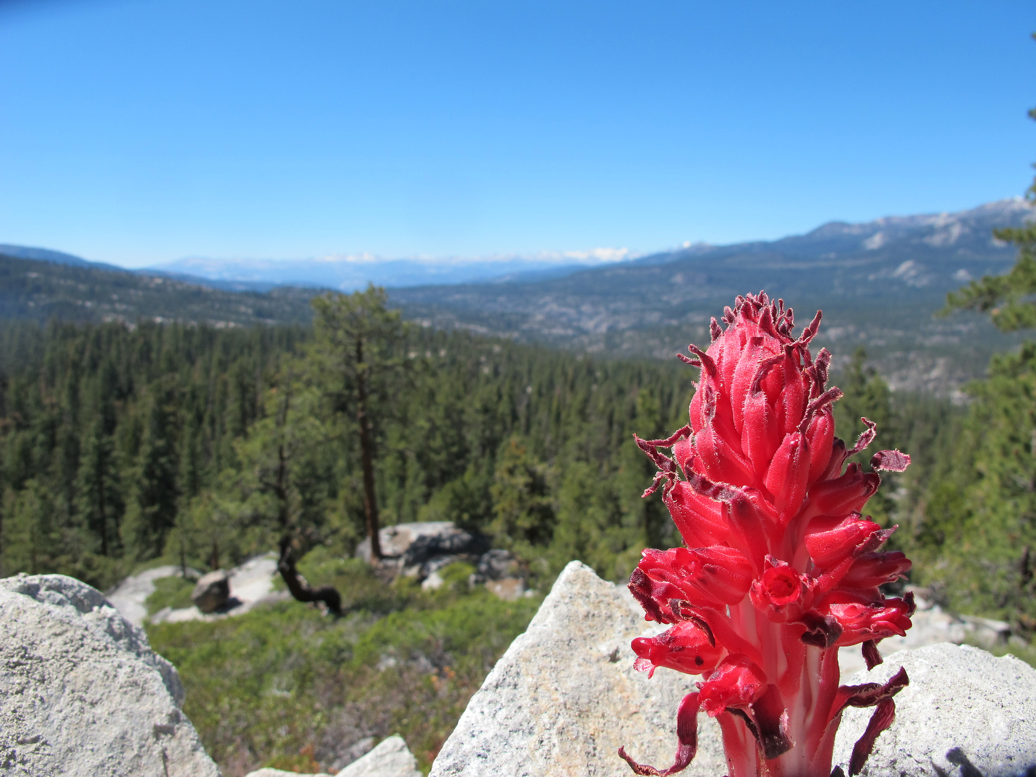 Snow plant in the Sierra