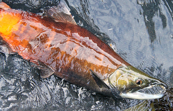 Salmon navigate by magnetic field