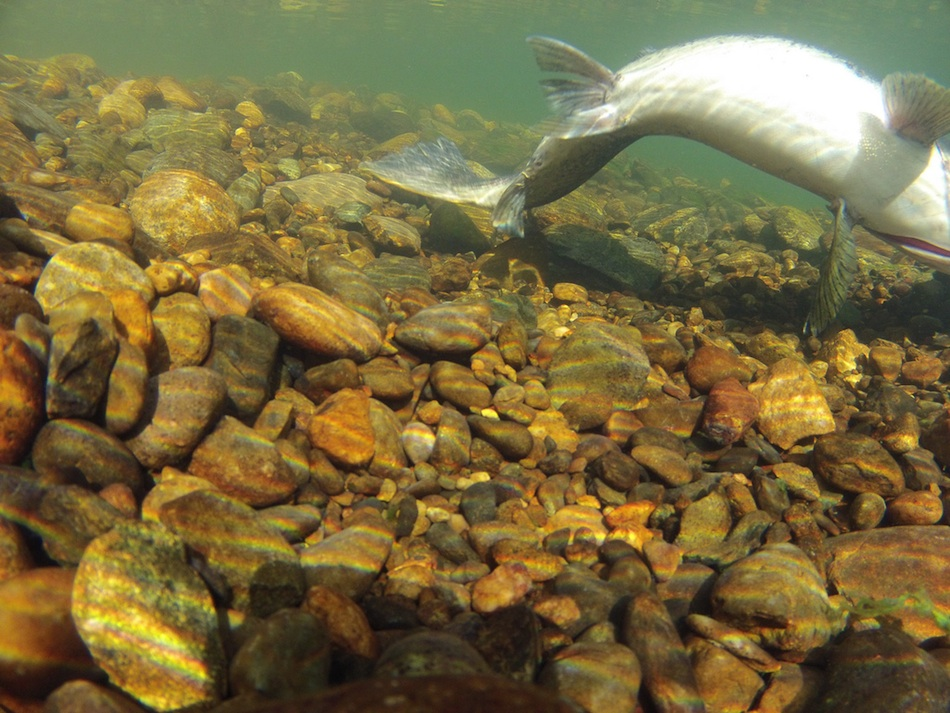 spawning salmon