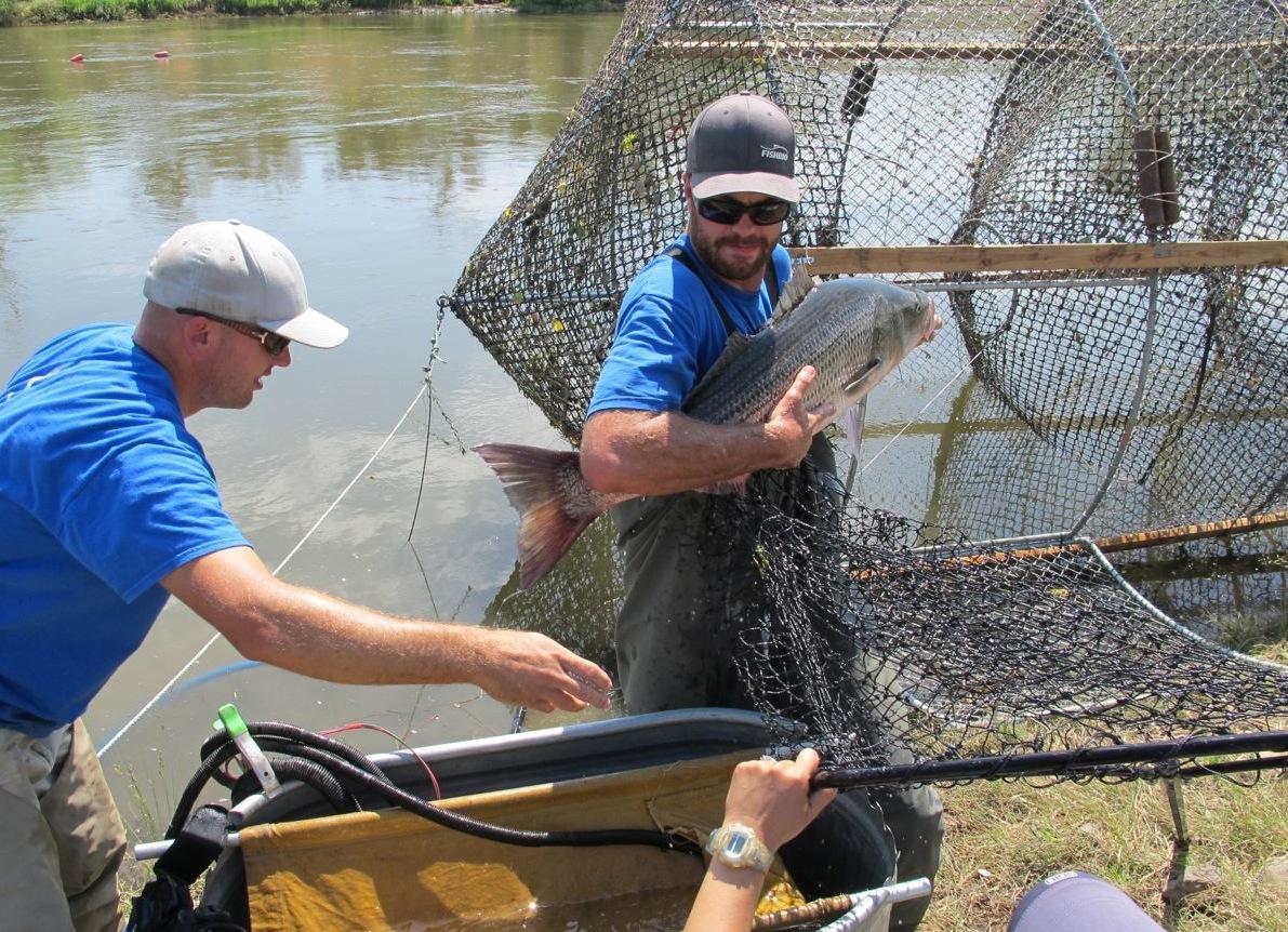 striped bass fyke trap study