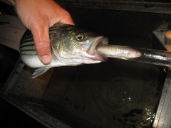 Striped Bass Predation on Salmon