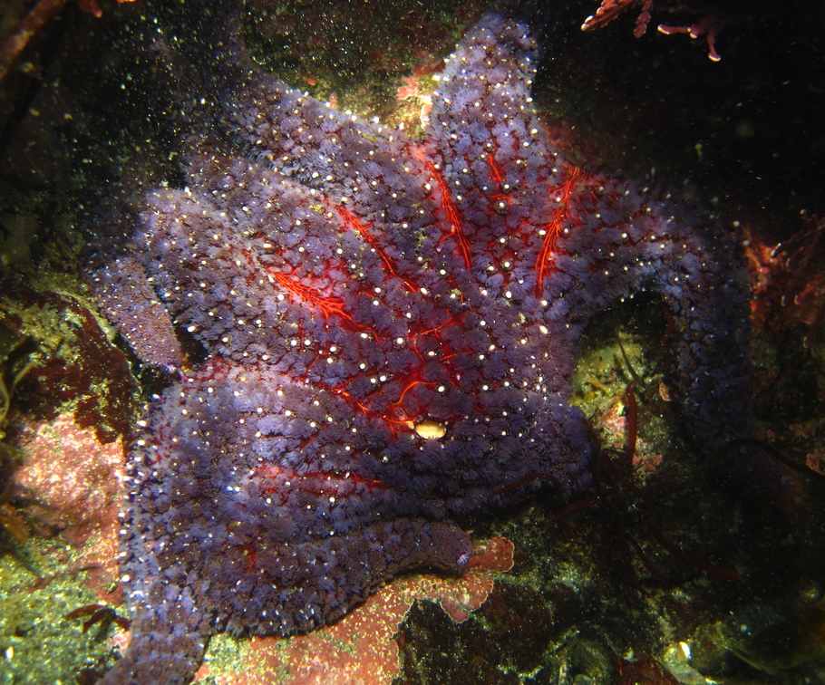 Sunflower star: Pycnopodia helianthoides