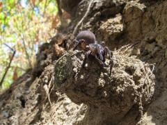 California tradpdoor spider