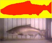 vaki-riverwatcher-infrared-photo1