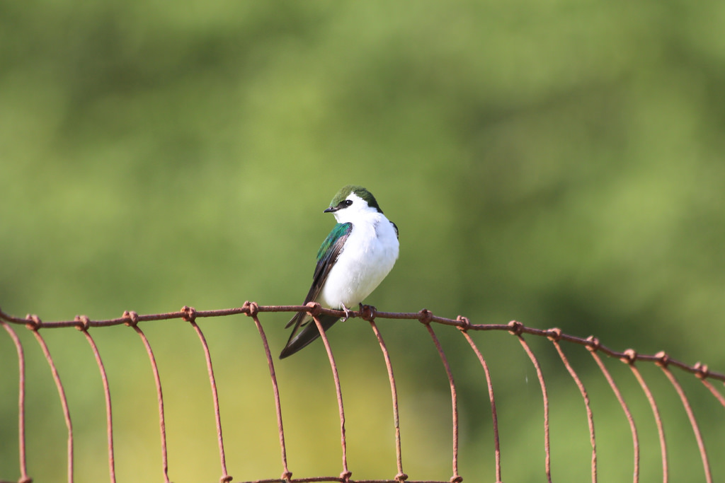 violet-green tree swallow